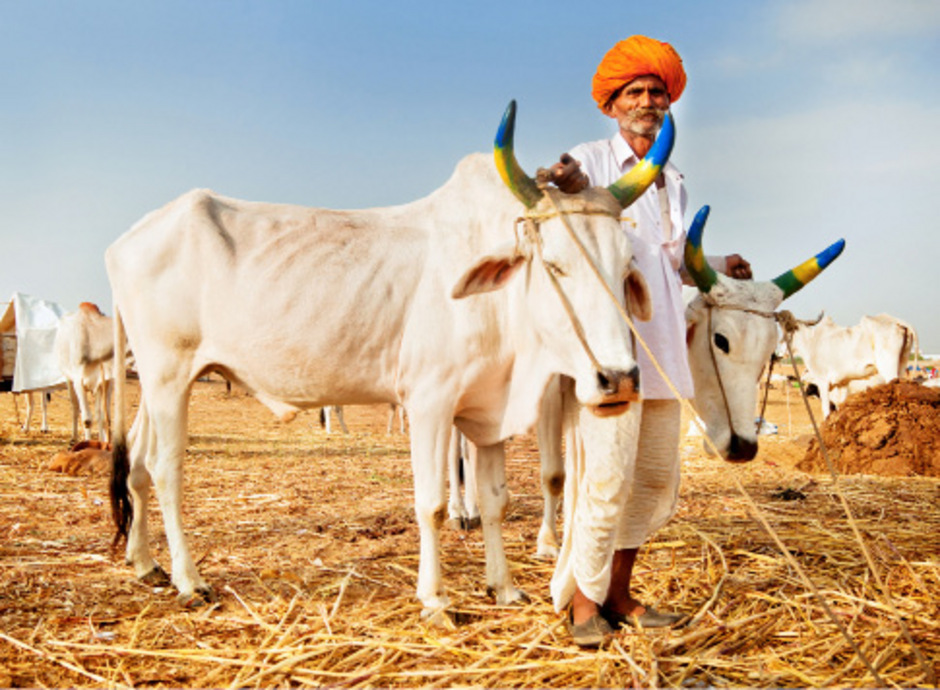 Kühe gelten im Hinduismus als heilig. Seit der Hindu-Nationalist Narendra Modi 2014 als Ministerpräsident die Regierungsgeschäfte übernahm, haben die Tiere nahezu einen VIP-Status.