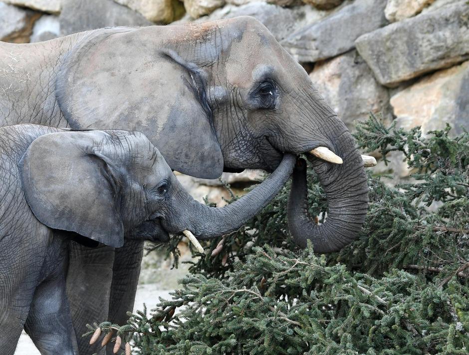 Die Elefanten ließen sich den Christbaum schmecken.