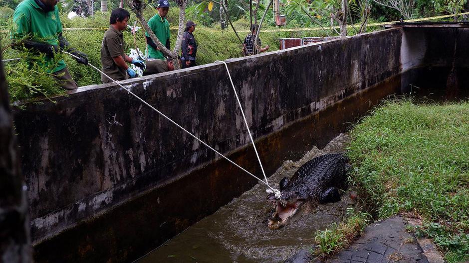 Drei Stunden dauerte es, bis die Männer das riesige Krokodil sediert hatten und abtransportieren konnten.