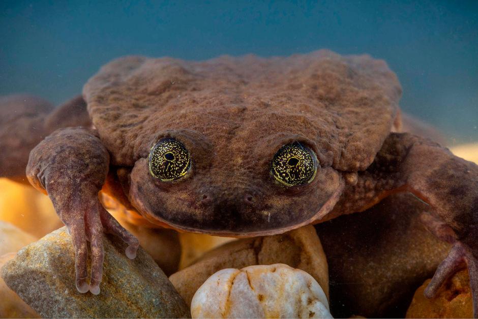 Der Sehuencas-Wasserfrosch Romeo soll sich fortpflanzen.