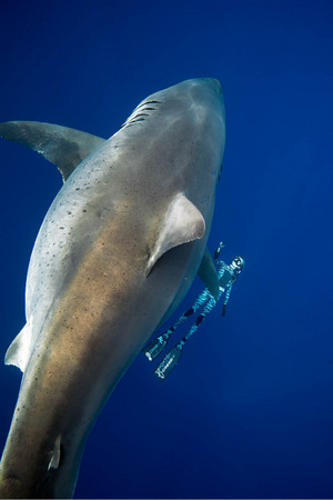 Das Alter des Hai-Weibchens wird auf mindestens 50 geschätzt.