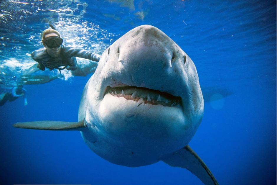 Die Taucher schwammen mit dem Riesenhai.