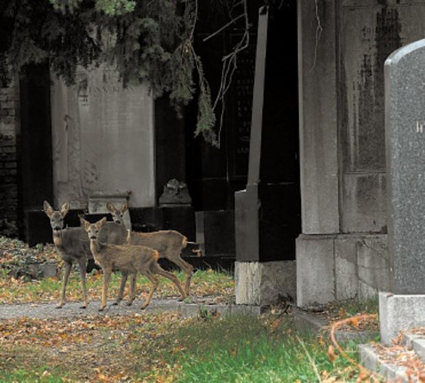 Auf dem zweieinhalb Quadratkilometer großen Zentralfriedhof leben rund 40 Rehe.
