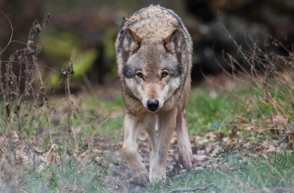 Die Rückkehr des Wolfes wird nun zentral beobachtet.