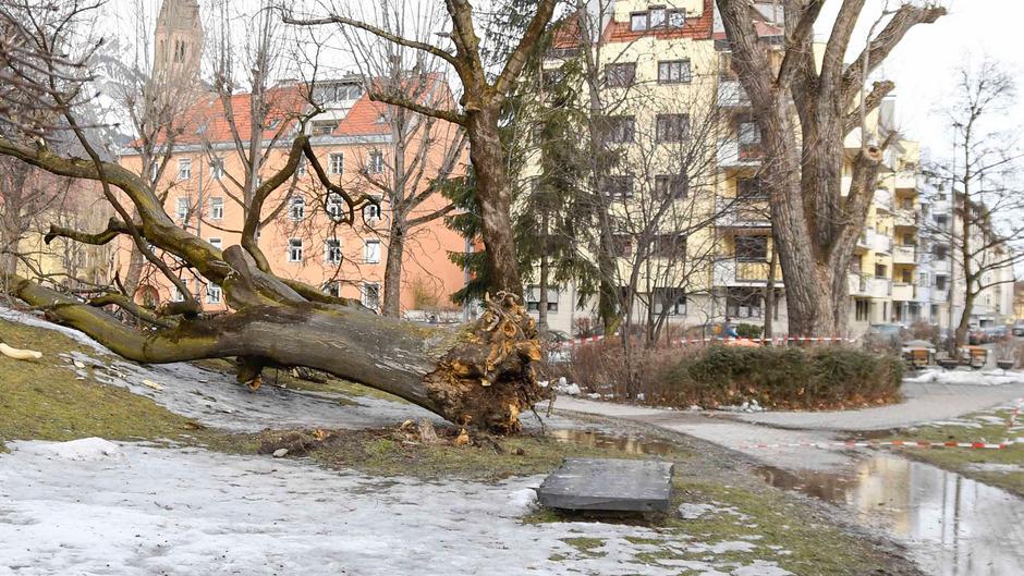 Der etwa 15 Meter hohe Baum wurde an der Wurzel abgerissen und krachte auf die Wiese.
