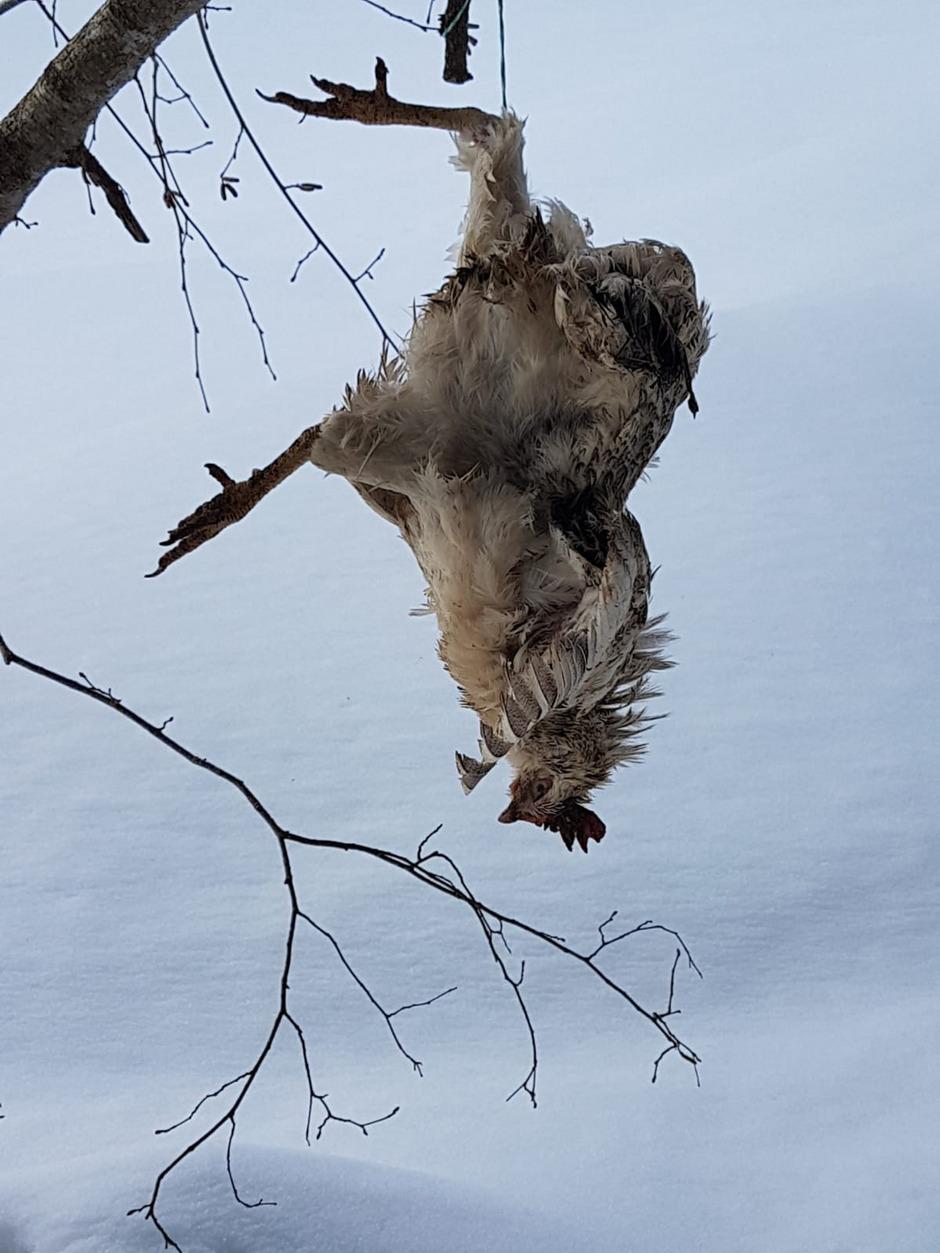 Ein totes Huhn wurde kopfüber an einem Ast aufgehängt.