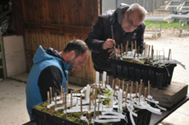Das Team des Instituts für Forstgenetik hat resistente Eschen gesammelt. Die Jungbäumchen aus deren Samen sind mit Strichcodes gekennzeichnet.