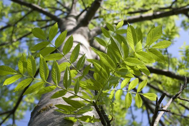 Es ist nicht mehr so leicht, eine gesunde Esche zu finden. Ein Blick auf die Blätter verrät, wie es um den Baum steht.