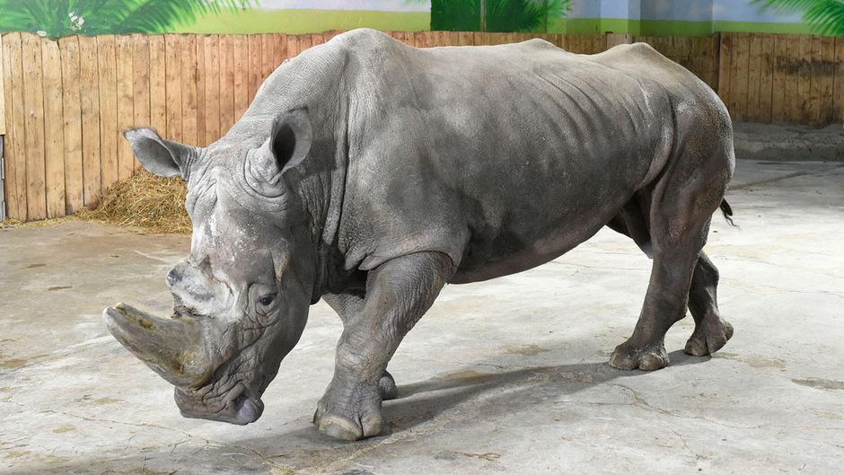 Nashornbulle Tsavo ist krank.