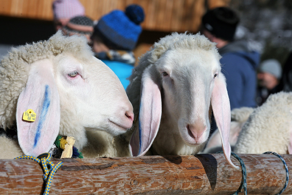 Die Gebietsausstellung der Schafzüchter in Zams war gut besucht und stieß auf reges Interesse.