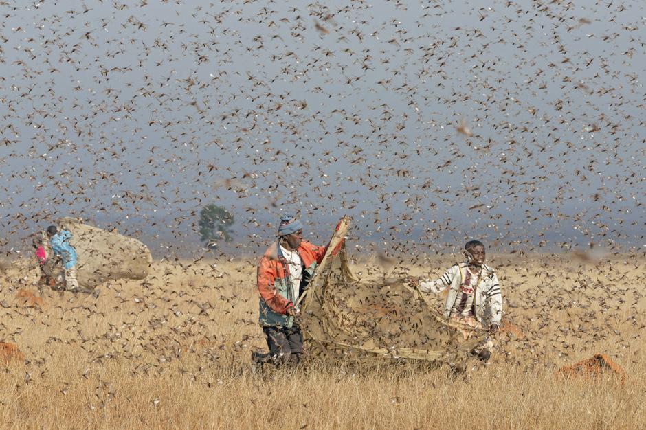 Ein Heuschreckenschwarm kann aus bis zu einer Milliarde Tiere bestehen.