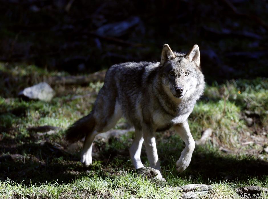 Wölfe sind grundsätzlich scheu. Dennoch sorgt das Auftauchen eines solchen Tieres im Defereggen für Besorgnis.