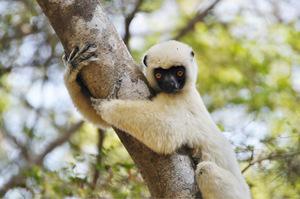 Sifakas aus der Familie der Lemuren haben die Wanderer fest im Blick.