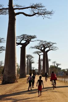 Die Affenbrotbäume sehen aus, als würden ihre Wurzeln nach oben wachsen.
