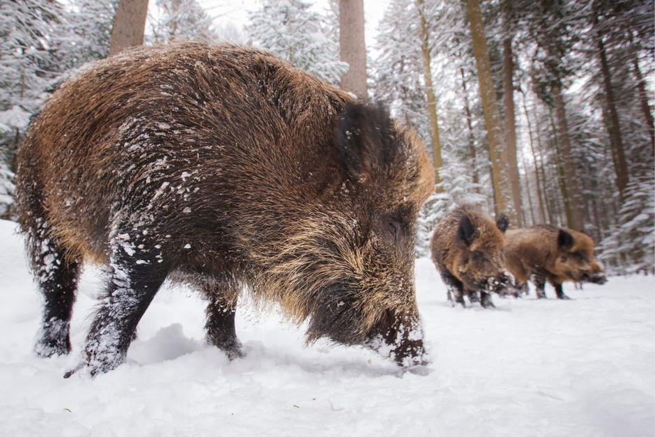 Immer mehr Wildschweine sind im Bezirk Kufstein unterwegs.