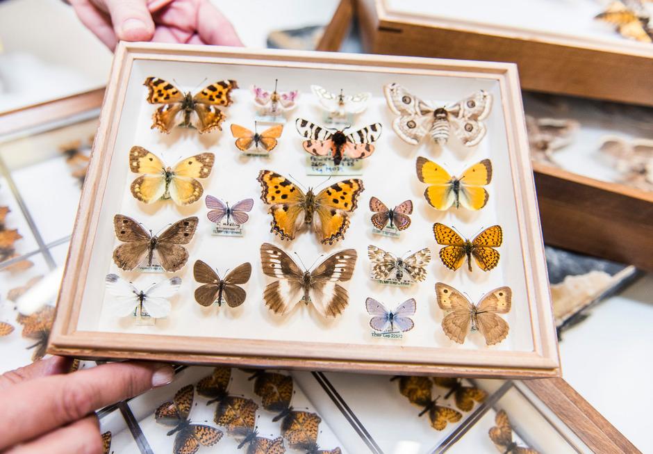 Die Schmetterlingsarten in diesem Schaukasten sind vom Aussterben bedroht.