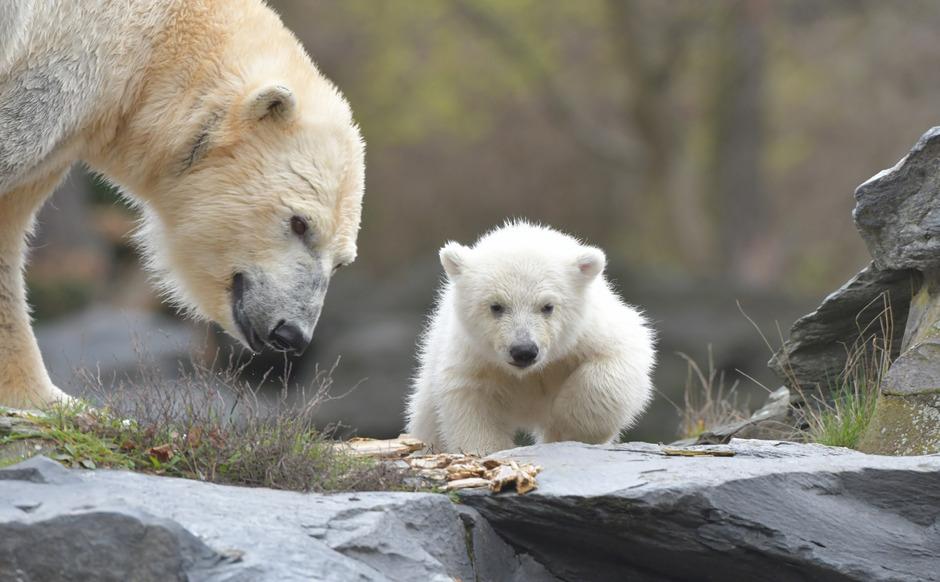 Die kleine, noch namenlose Eisbärin macht ihre erste Erkundungstour im Berliner Tierpark mit ihrer Mutter Tonja.