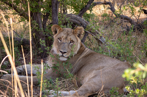 Ein ruhender Löwe im Hwange-Nationalpark in Simbabwe.