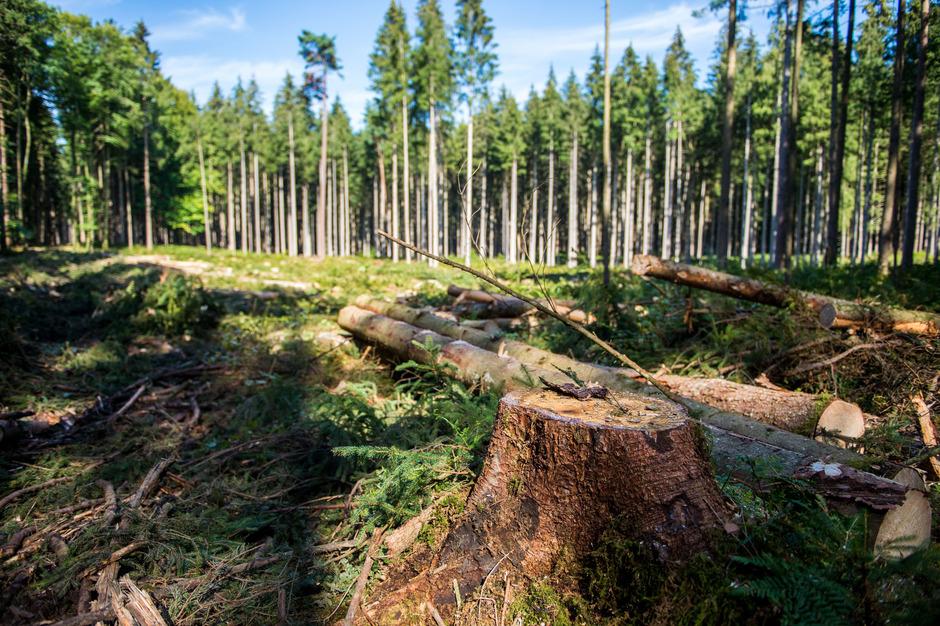 Der Borkenkäfer breitet sich in den heimischen Wäldern aus und verursacht massive Schäden.
