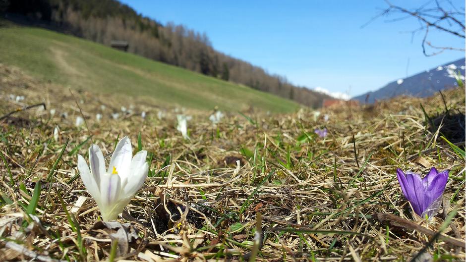 Die Krokusse blühen: Frühling auf den Telfer Wiesen