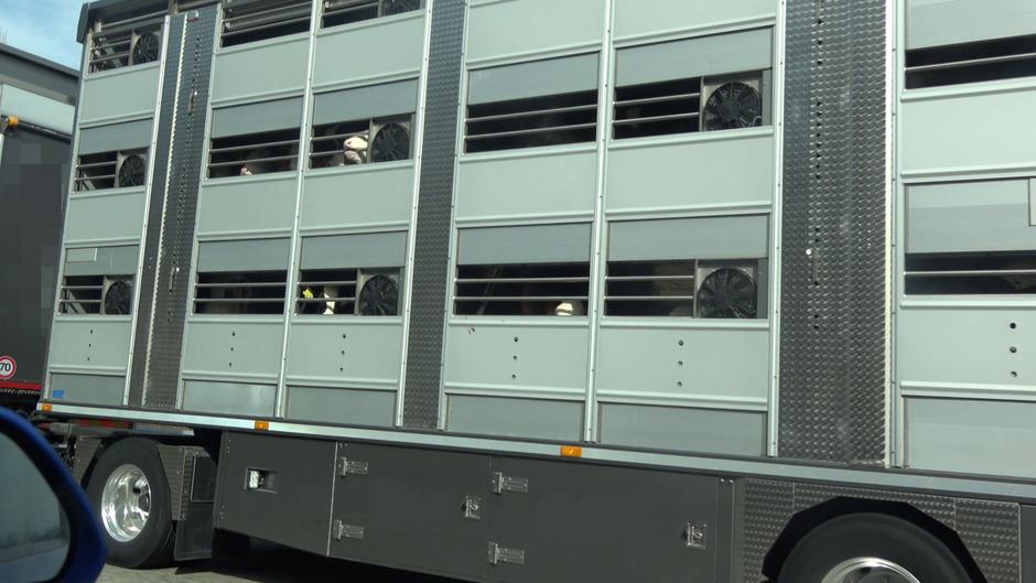 Insgesamt über 22 Stunden laut den Tierschützern von VGT ein Transporter von Bergheim bis Vic in Spanien unterwegs.