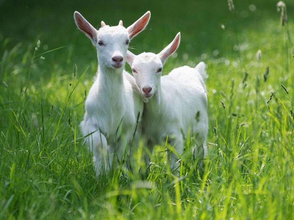 Das Ziegenkitz wird nur mit Milch gefüttert und kommt aus Tirol.