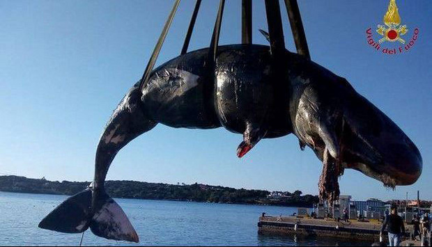 Im Bauch des trächtigen Pottwales in Sardinien wurden 22 Kilo Plastik gefunden.