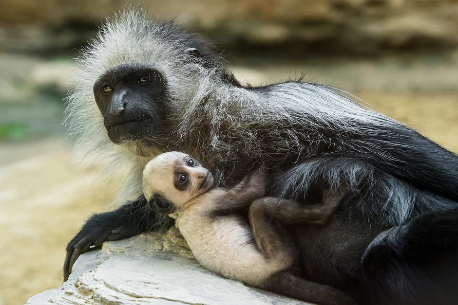 Am 30. März hat das Bärenstummelaffen-Mädchen Makeni das Licht der Welt erblickt.