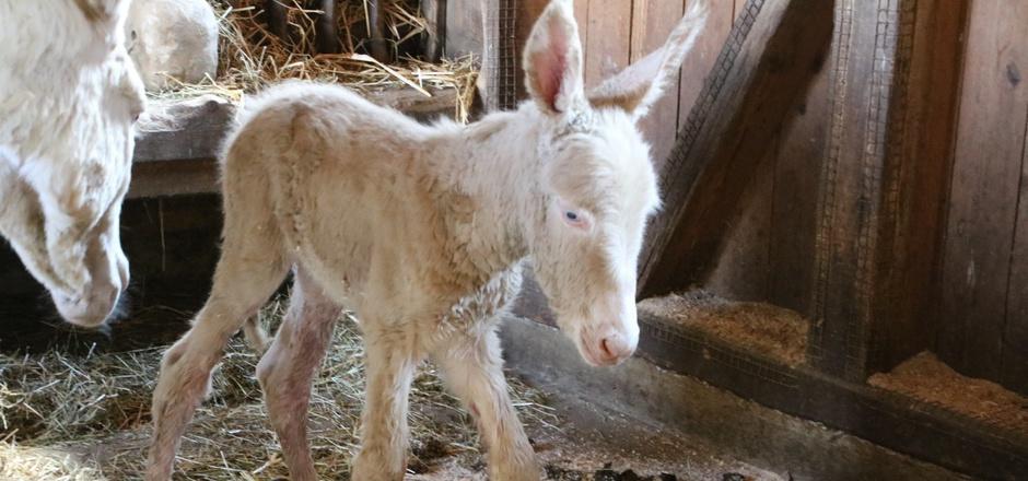 """Der frisch geborene kleine Esel hört auf den Namen """"Angelo"""" und ist die zweite Elternschaft für das Esel-Paar """"Mandy"""" und """"Aramis""""."""