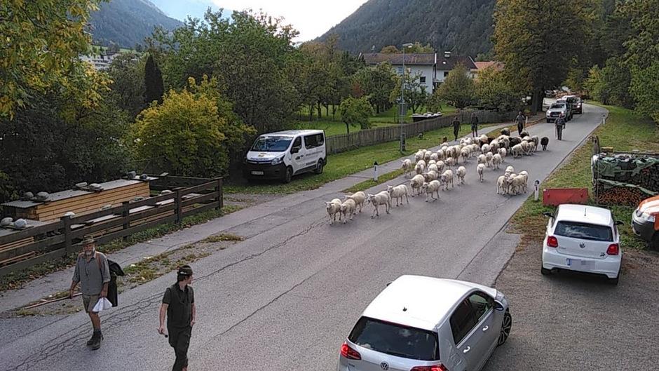 Eine Schafherde zieht durch Tösens. Der Schafbauer sieht in Zuge der Agrar-Neuregulierung einen massiven Eingriff in die Weiderechte.