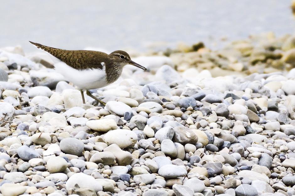 """Ein tirolerisch-bayerisches Interreg-Projekt rückt den Schutz des Flussuferläufers und anderer gefährdeter """"Wildflussarten"""" in den Fokus."""