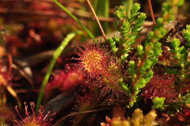 In Mooren wächst der Sonnentau, eine fleischfressende Pflanze.