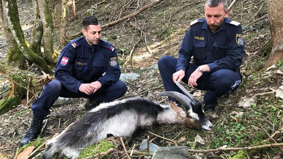 Die Polizei Strass konnte nach dem Fund des toten Ziegenbocks einen Verdächtigen ausforschen.