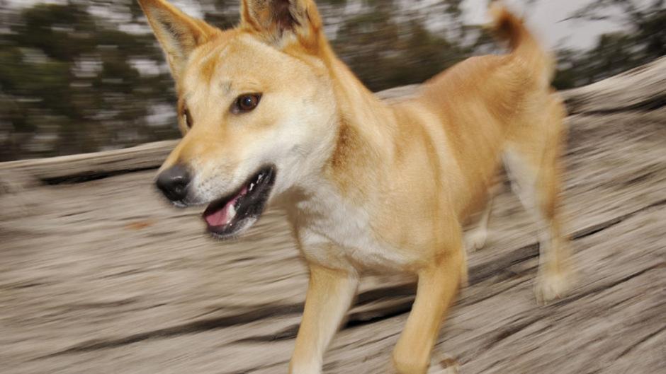 Ein Dingo-Jungtier in Australien. (Symbolfoto)