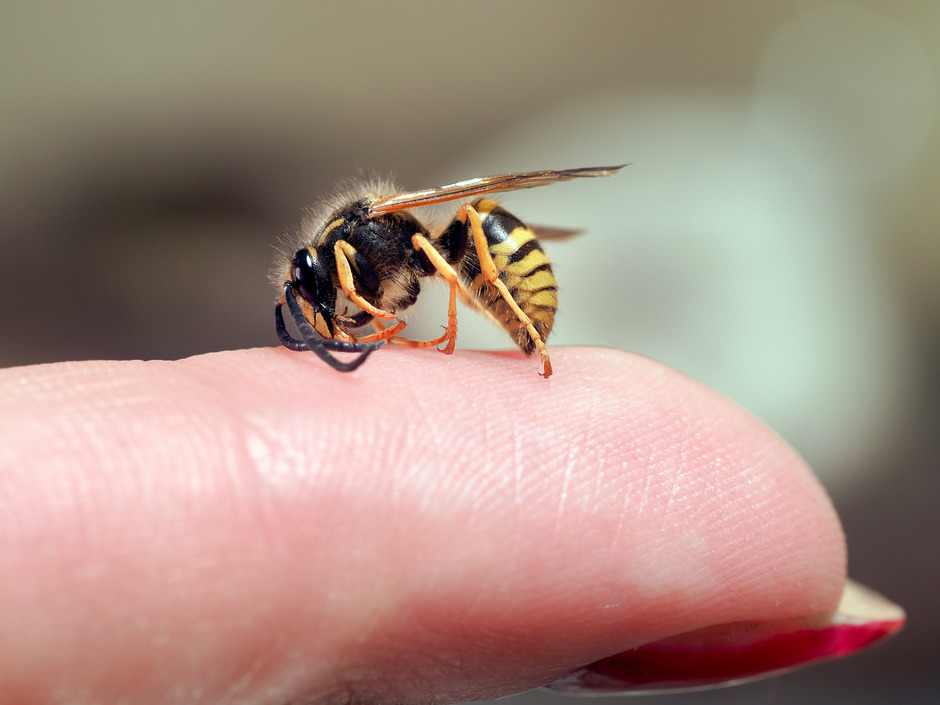 Im Frühling wacht die Natur auf ? Bienen und Wespen fliegen von Mitte März bis Oktober. Keine leichte Zeit für Insektenallergiker.