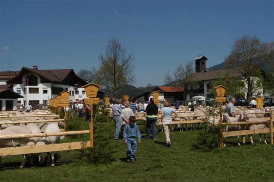 Beim 25. Maifest in Breitenwang werden auch 50 Jahre örtlicher Schafzuchtverein und die Braunviehschau gefeiert.