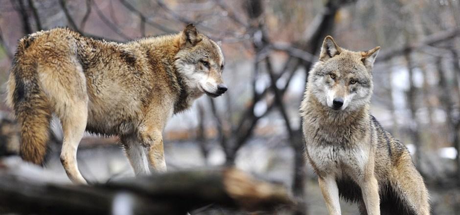 Gefährlich oder nicht? Die Rückkehr der Wölfe nach Tirol sorgt nach wie vor für heftige Diskussionen.