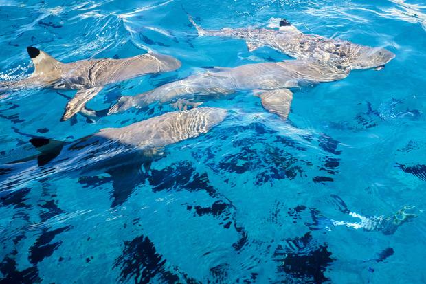Beim Schnorcheln trifft man auf Schwarzspitzen-Riffhaie.