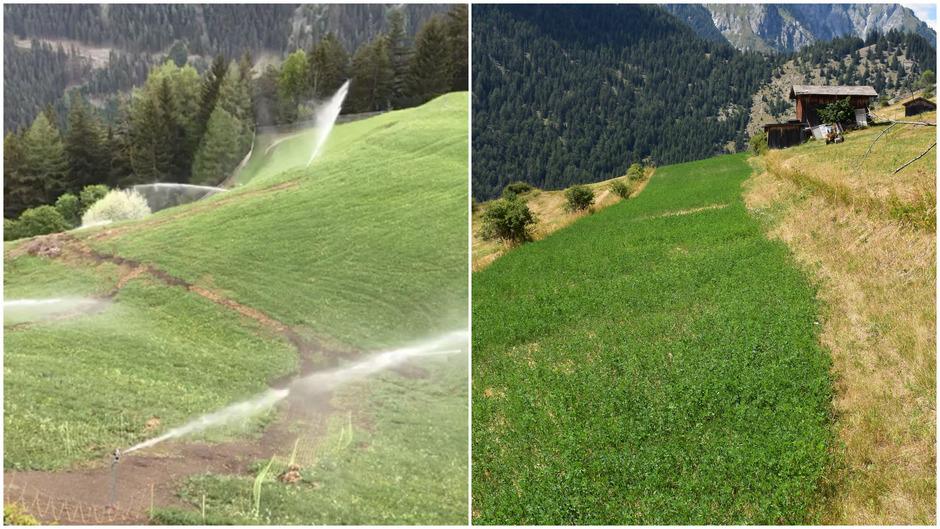 Auf den Wiesen (l.) von Paul Köhle in Pfunds wurde 2018 ein Teil der neuen Bewässerungsanlage verlegt. Die Luzerne (r.) könnte künftig ein wichtiges Futtermittel werden.