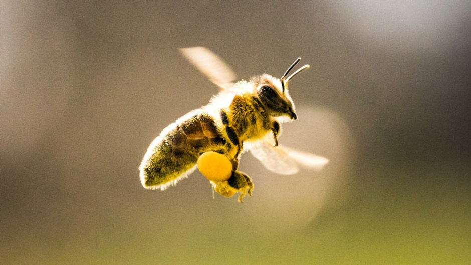Als wichtigste Tierart für das Ökosystem wird laut der Umfrage mit mehr als 95 Prozent Zustimmung die Biene gesehen.