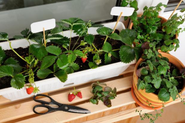 Auf Balkonen mit West- oder Ost-Ausrichtung gedeihen Erdbeeren laut Bio-Gärtner Karl Ploberger prächtig. Mittlerweile gibt es spezielle Züchtungen und sogar klein wachsende Himbeer- und Brombeerstauden.