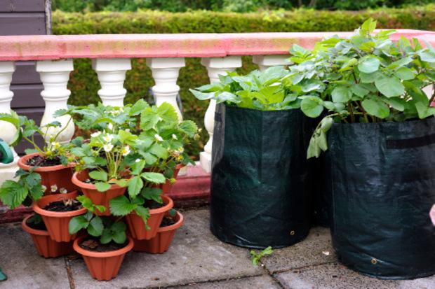 Kartoffeln wachsen in großen, dunklen Tonnen oder Pflanzsäcken auch am Balkon. Austreibende Exemplare vom Gemüsefach verwenden und Keimblätter immer wieder mit neuer Erde bedecken. Viel wässern und düngen.