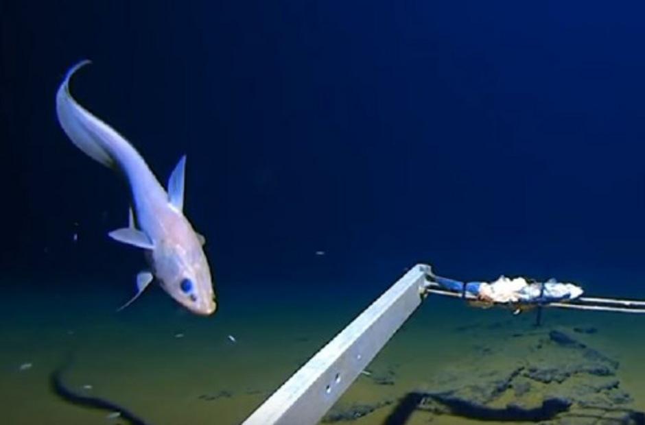 Neben Müll gibt es am Grund des Pazifik auch interessante Arten zu sehen.