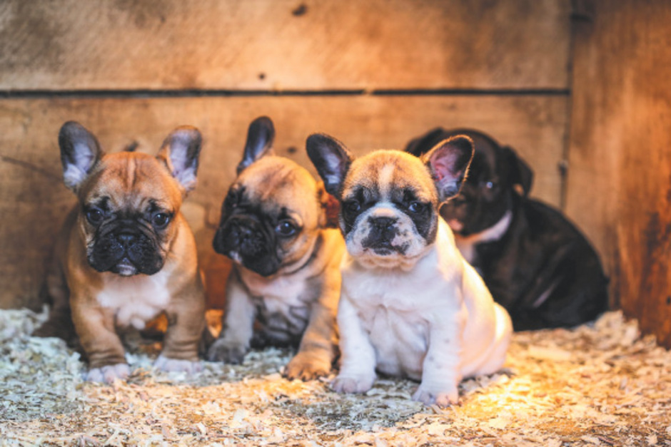 Ein Unterländer versorgte französische Bulldoggen nicht. Deren fünf Welpen verendeten. (Symbolbild)