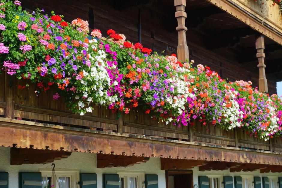 Mittlerweile halten die Eisheiligen Tirol nicht mehr im Würgegriff – höchste Zeit, die Balkonblumen zu setzen.
