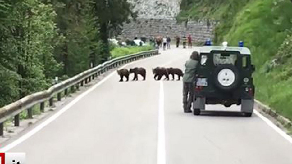 Die vier Bärnenjungen wollten die Fahrbahn nicht verlassen.