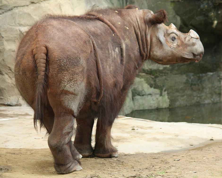Sumatra-Nashörner sind vom Aussterben bedroht.