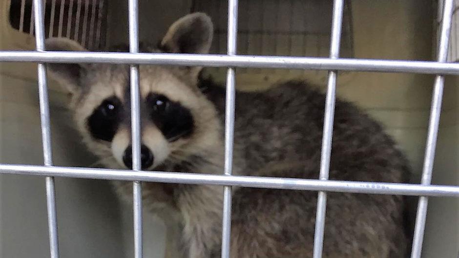 Der Waschbär wurde in eine Tierklinik gebracht, überstand sein Abenteuer aber unverletzt.