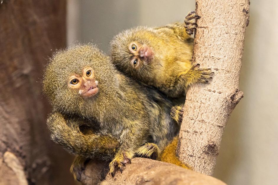 Happy und Felice kamen bereits am 1. Jänner zur Welt. Bei der Geburt waren die beiden nur daumengroß.