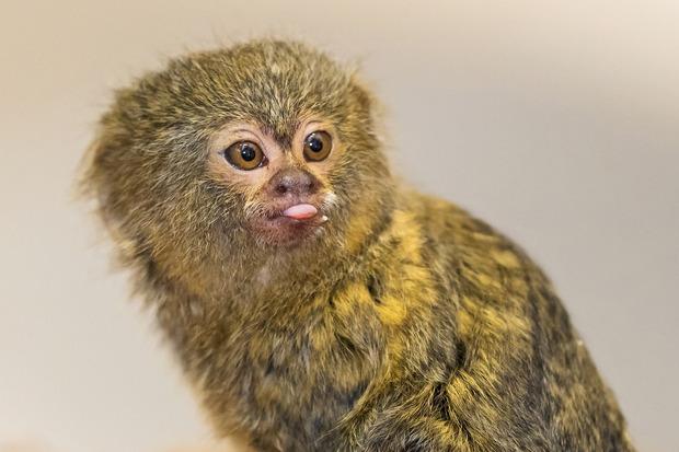 Frech streckt der junge Affe die Zunge in die Kamera.